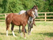 Three Welsh Ponies. A full length image  of three young Welsh ponies together in a paddock Royalty Free Stock Photos