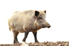 Full length isolated wild boar Royalty Free Stock Image