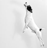Full-length jack russell terrier Stock Photo