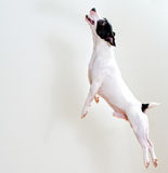 Dog in jump Royalty Free Stock Photo