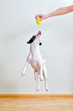 Dog playing with ball Stock Photography