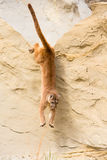 Full length jump of mountain lion. Off a ledge Stock Images