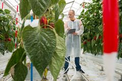 Full length of male researcher using tablet computer while exami. Researcher Using Tablet Computer By Bell Pepper Plants In Greenhouse Stock Photos