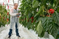 Full length of male scientist using digital tablet while standing by bell pepper plants in greenhouse royalty free stock photos