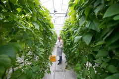 Full length of male worker picking green beans while standing am. Worker Standing Amidst Green Beans Plants In Greenhouse Royalty Free Stock Photos