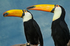 Full length pair portrait of adult toco toucan birds on tree branch. Full length pair portrait of adult toco toucan birds perched on tree branch stock images