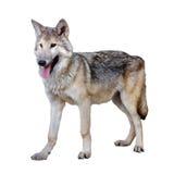 Full length photo of gray wolf stock photos