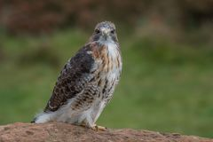 Red tailed hawk. Full length photograph of a red tailed hawk on a rock staring straight forward at the viewer royalty free stock images