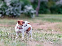 Full-length portrait of adorable small white and brown dog jack russel terrier standing on lawn and looking at right. Side royalty free stock image