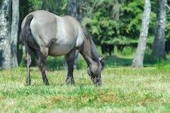 Full length portrait of feeding heck horse at green bushy background Royalty Free Stock Photo