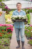 Full-length portrait of gardener carrying crate with flower pots in greenhouse Stock Photos
