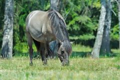 Full length portrait of grazing tarpan horse at green forest background Royalty Free Stock Image