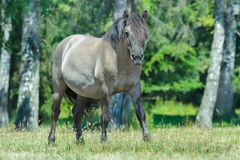 Full length portrait of looking at camera heck horse at green forest background Stock Photos