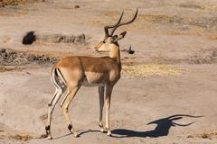 Full-length portrait of male impala.