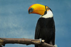 Full length portrait of sitting on tree gorgeous adult toco toucan Royalty Free Stock Photos