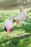 Full length portrait of two Chilean flamingos preening itself Royalty Free Stock Images