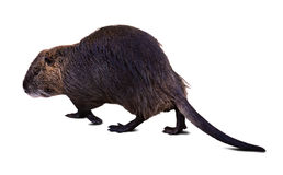 Full length shot of  Coypu over white background Royalty Free Stock Photography