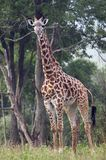 Full length shot of entire Giraffe. Full length body picture of a giraffe with trees in the background Royalty Free Stock Photo