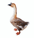 Full length shot of  Greylag Goose Royalty Free Stock Photos