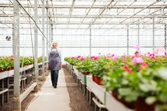 Full-length shot of woman worker standing in greenhouse. Full-length shot of mature woman gardener in apron standing in greenhouse Stock Photography