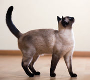 Full length shot of   siamese cat Royalty Free Stock Photo