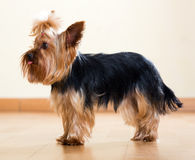 Full length shot of Yorkshire Terrier Royalty Free Stock Photo