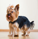 Full length shot of Yorkshire Terrier Royalty Free Stock Photo