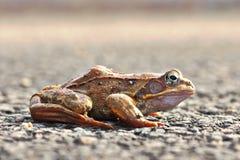 Full length side view of agile frog. Rana dalmatina stock image