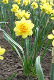 Full length view of daffodil with yellow and orange flower. Full length view of daffodil with double yellow and orange flower royalty free stock images