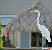 Full length view of a great white egret perched before a tiki hut. stock photography