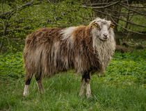 Male sheep. Full length view of a male sheep in profile, in a grassy wooded area Stock Photography