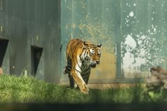 Full-length view of tiger royalty free stock photography
