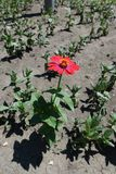 Full length view of Zinnia elegans with red flower. Head stock photo