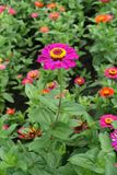 Full length view of zinnia with magenta-colored flower head. Full length view of zinnia with magenta colored flower head stock image