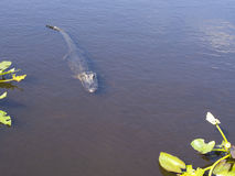 Full Length Wild Crocodile in the water Royalty Free Stock Photography