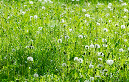 Full of lights field of dandelions. With green grass Stock Photos