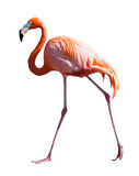 Full längd av flamingo över vit Royaltyfri Fotografi