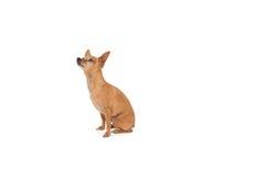 Full längdsidosikt av en hund som ser upp Arkivfoton