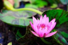 full lotusblomma för blomblomma Royaltyfri Foto