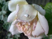 Full match white spider and faded white rose in the garden stock image