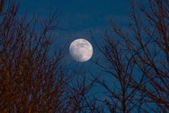 Full moon. Piercing through the blurred branches of a tree Royalty Free Stock Photography