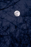 Full moon. Piercing through branches Stock Image