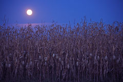 Full moon above the corn field Royalty Free Stock Photo