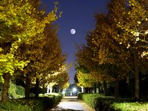 The full moon above Ginkgo tree avenue in autumn. Tokyo,Japan-November 22, 2018: The full moon above Ginkgo tree avenue in Tokyo, Japan royalty free stock image