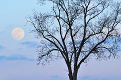 Full Moon and Bare Tree Stock Photos
