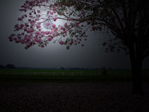 Full moon behind pink flower. Full moon behind branch of pink trumpet tree flowerTabebuia rosea in countryside with farmland on backside Stock Photos