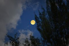 Full moon in blue sky with pine tree foreground Royalty Free Stock Image