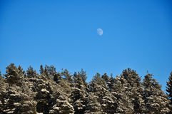 Full Moon in the day blue sky over the winter forest of snowed pines.  Stock Photo