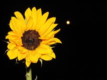 Sunflower moon. Full moon in the distance and an in-focus sunflower Stock Photos