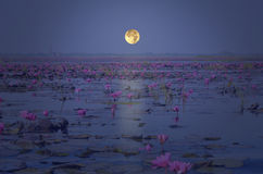 Full moon evening over red water lily lake Royalty Free Stock Photo